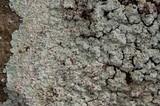 Lepraria normandinoides image