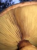 Gymnopilus luteofolius image