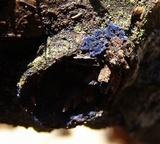 Terana caerulea image