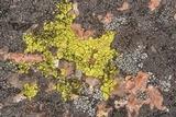 Acarospora contigua image