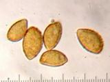 Cortinarius seidliae image