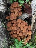 Psathyrella piluliformis image