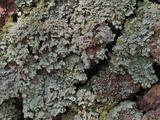 Image of Cladonia hypoxantha