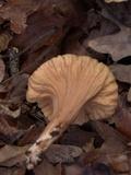Clavariadelphus unicolor image