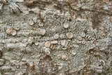 Image of Lecanora pallescens