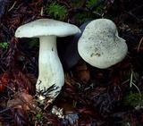 Tricholoma pardinum image