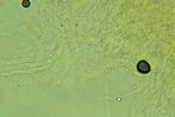 Clitocybe coniferophila image
