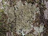 Protoparmelia isidiata image