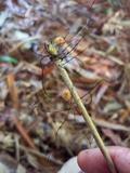 Marasmius crinis-equi image