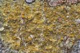 Caloplaca flavorubescens image