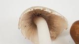 Psathyrella longipes image