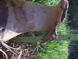 Lycoperdon excipuliforme image