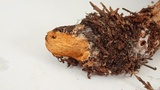 Cortinarius traganus image
