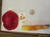 Hygrocybe laetissima image