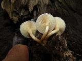 Gymnopilus purpureosquamulosus image