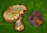 Cortinarius pulchrifolius image