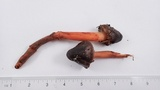Phaeocollybia olivacea image