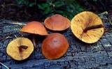 Gymnopilus oregonensis image