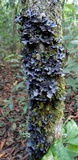 Pseudocyphellaria argyracea image