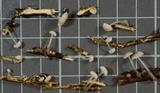 Roridomyces roridus image