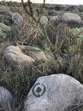 Xanthoparmelia mexicana image