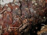 Arachnopeziza obtusipila image