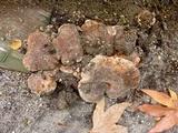 Tricholoma dryophilum image