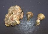 Hygrophorus amarus image