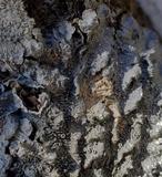 Punctelia hypoleucites image