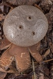 Myriostoma coliforme image