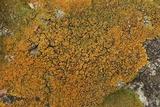 Caloplaca squamosa image