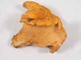 Cantharellus formosus image