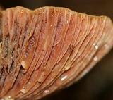Lactarius subpurpureus image