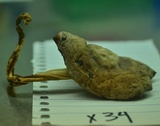 Rhodocollybia oregonensis image