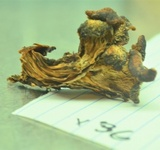 Lentinellus vulpinus image