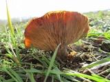 Clitocybe brunneocephala image